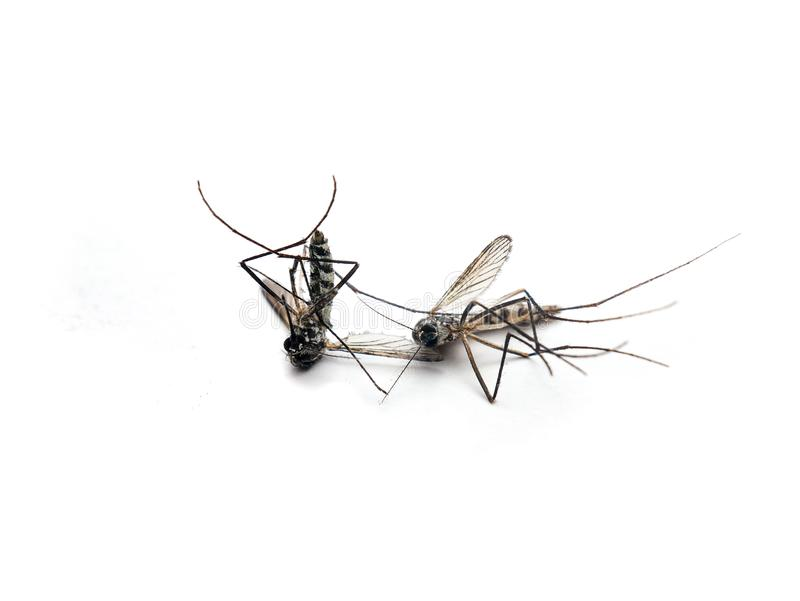 Dangerous Zika virus aedes aegypti Dead mosquitoes on white background.  royalty free stock photo
