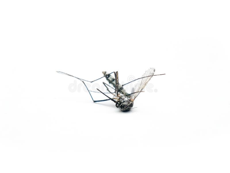 Dangerous Zika virus aedes aegypti Dead mosquitoes on white background.  royalty free stock photography