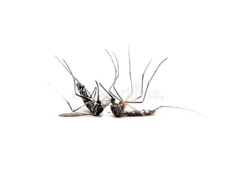 Dangerous Zika virus aedes aegypti Dead mosquitoes on white background.  royalty free stock photos