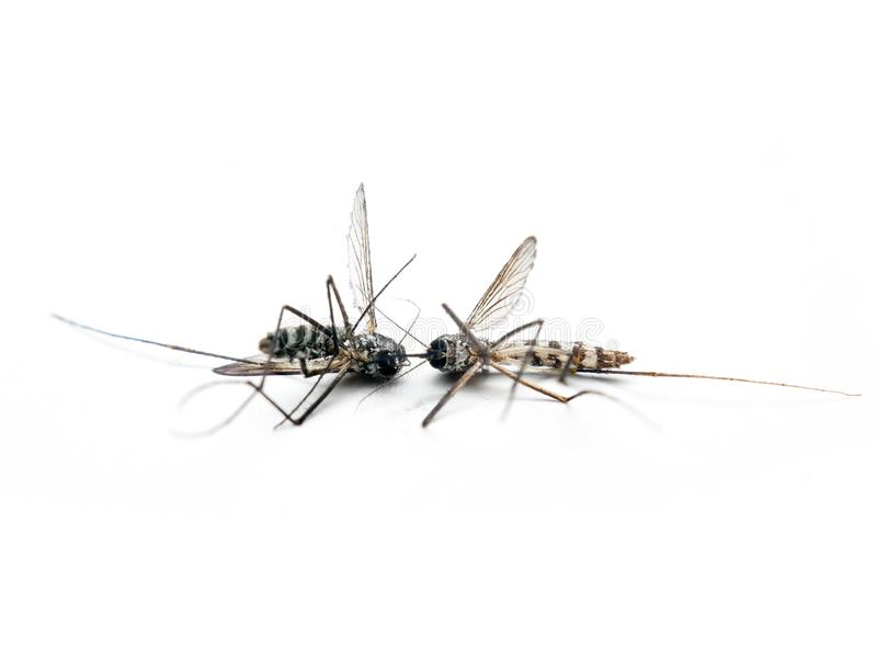 Dangerous Zika virus aedes aegypti Dead mosquitoes on white background.  stock photography