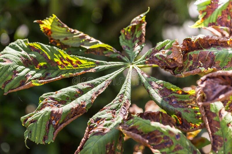 Danifique às folhas do ohridella de Cameraria da traça do mineiro da castanha foto de stock