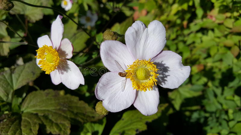 Danish autumn flowers. Two white flowers with yellow stamens and a small bee gathering the last sunshine of a late Danish summer stock photo