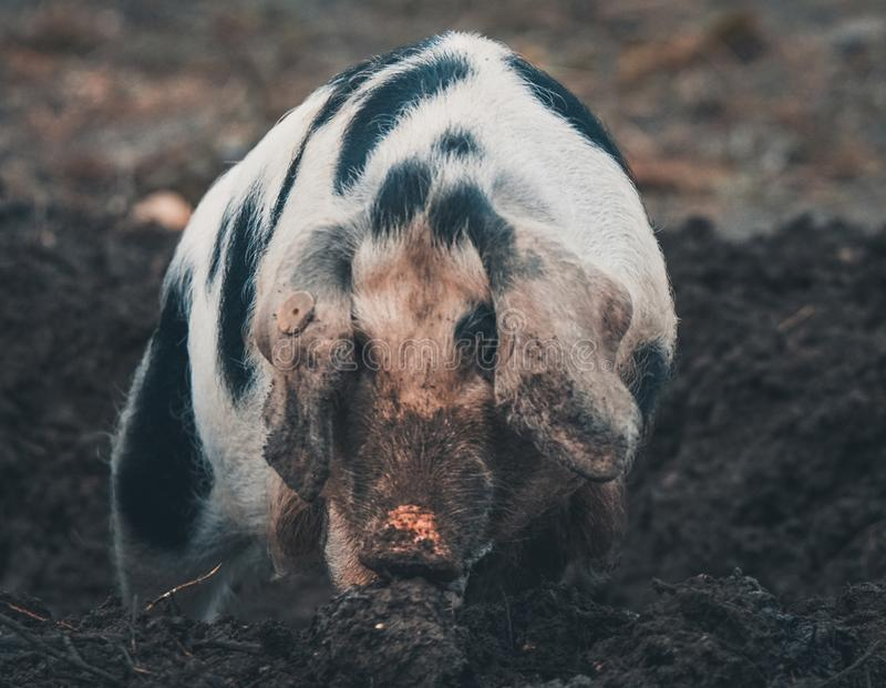 Danish black spotted pig. A close up of a young Danish black-spotted pig royalty free stock photo