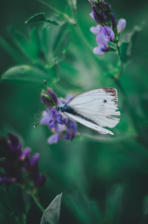 Danish butterfly royalty free stock images