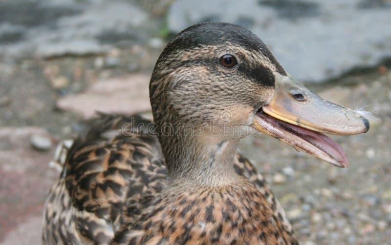 Download Danish duck stock photo. Image of duck, feather, beak, head - 225738