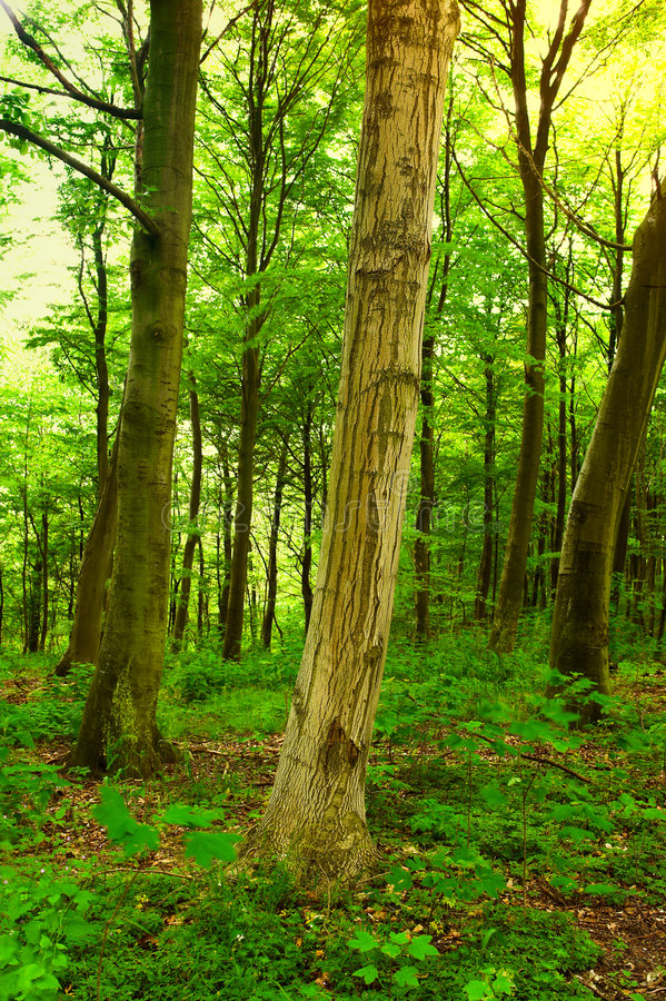 Download Danish Forest - Early Morning Stock Photo - Image: 2714046