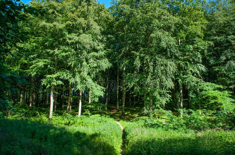 Danish forest. Opening in a Danish forest royalty free stock photo