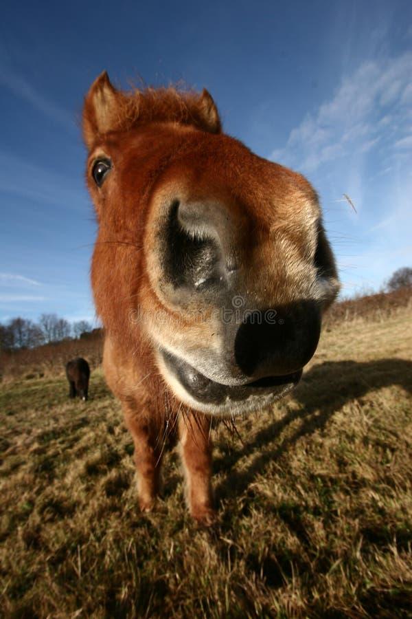 Danish Horses Royalty Free Stock Images