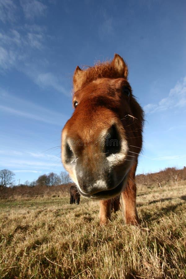 Download Danish Horses Stock Images - Image: 727404