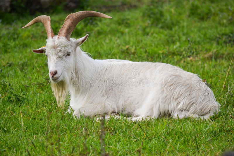 Danish Landrace Goat stock photos