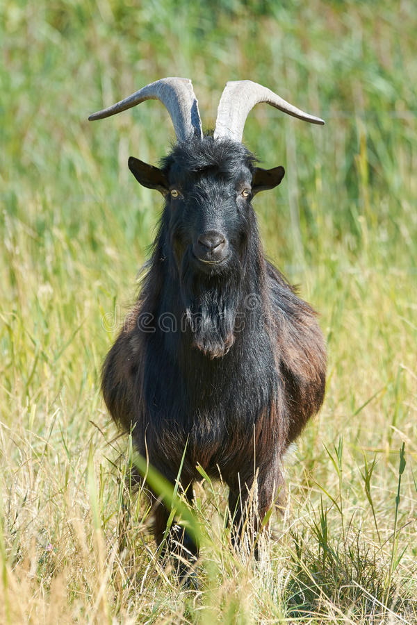 Danish Landrace goat. Seen from the front standing in natural surroundings royalty free stock photography