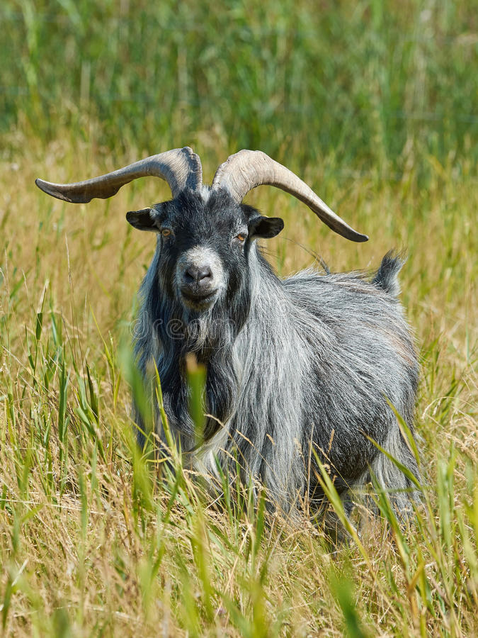 Danish Landrace goat. Seen from the front standing in natural surroundings royalty free stock images