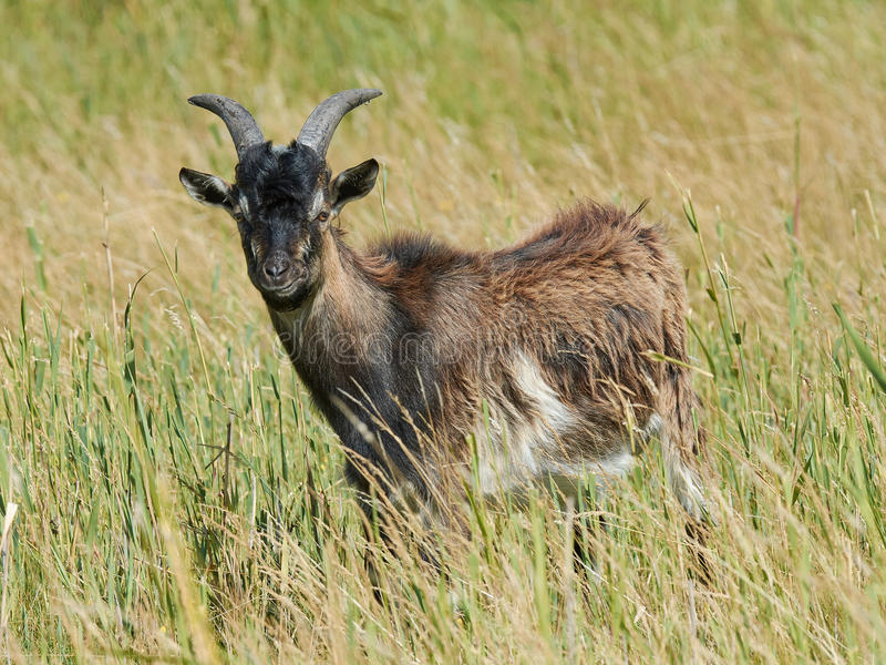 Danish Landrace goat. Seen from the side standing in natural surroundings royalty free stock photography