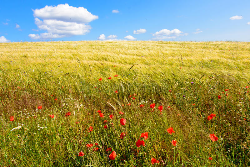 Danish summer. A classic summer landscape in Denmark with a ripening field of crop (barley) under a blue sky with small puffy white clouds and decorative red stock photography