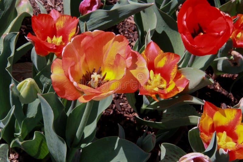 Dankzeggingspunt Tulip Festival Flowers stock afbeeldingen