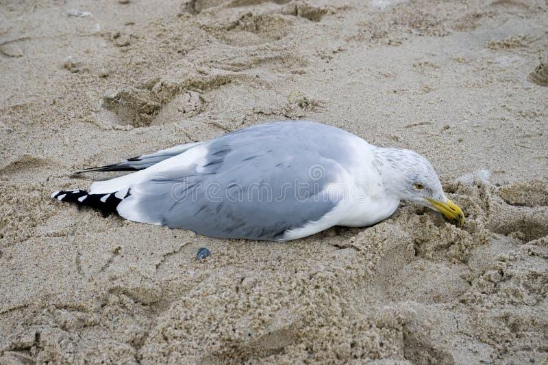 Danneggi male il gabbiano nella sabbia immagini stock