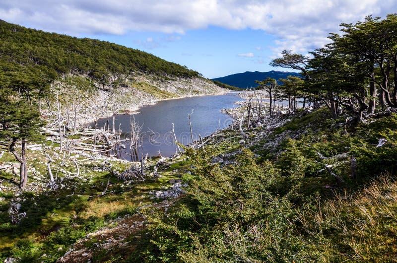 Danno fatto dai castori e dalla diga del castoro in Dientes de Navarino, Isla Navarino, Cile fotografia stock libera da diritti