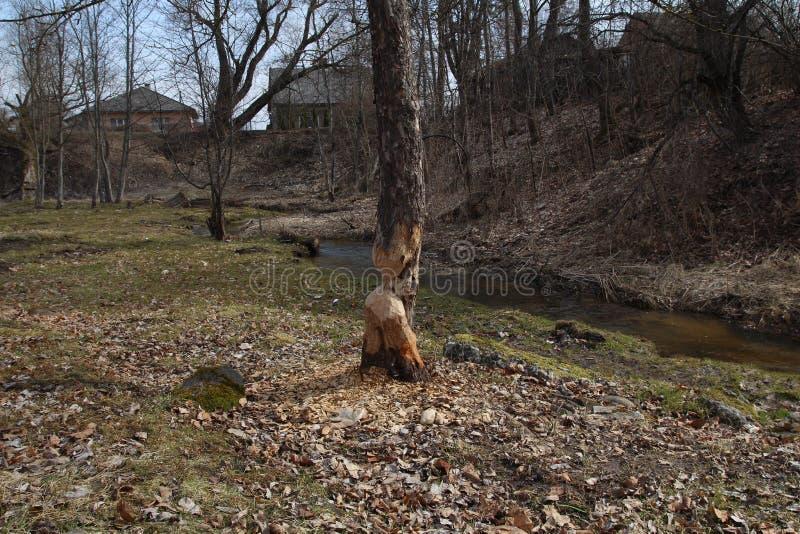 Dano da árvore do castor Reduzirão regularmente árvores Os castores comem na maior parte a casca e as folhas de árvore imagem de stock