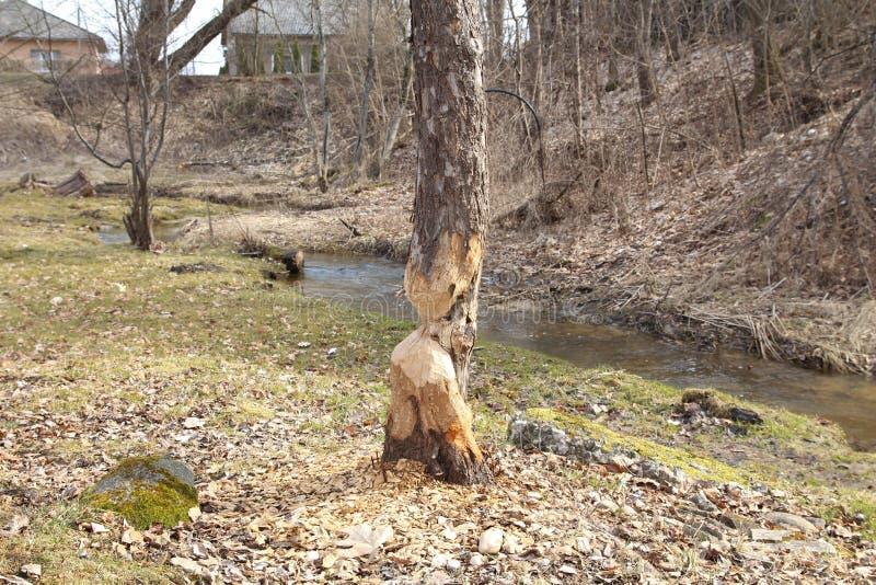Dano da árvore do castor Reduzirão regularmente árvores Os castores comem na maior parte a casca e as folhas de árvore foto de stock royalty free