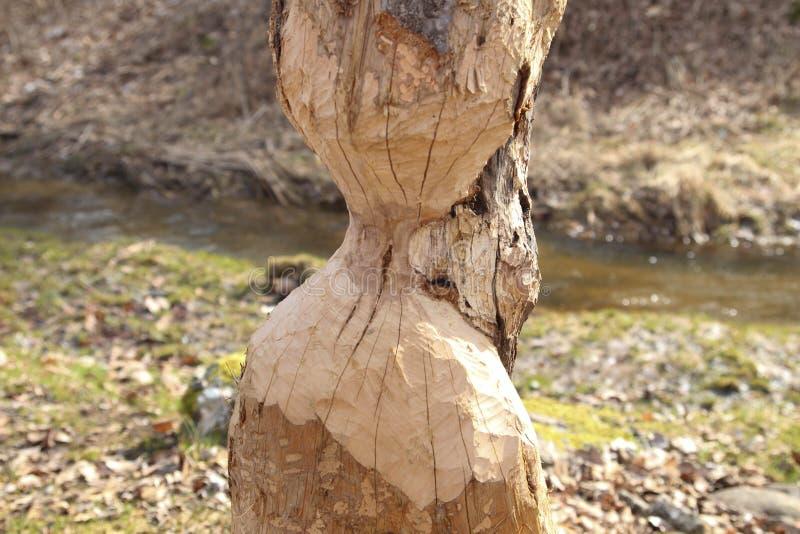 Dano da árvore do castor Reduzirão regularmente árvores Os castores comem na maior parte a casca e as folhas de árvore imagens de stock royalty free