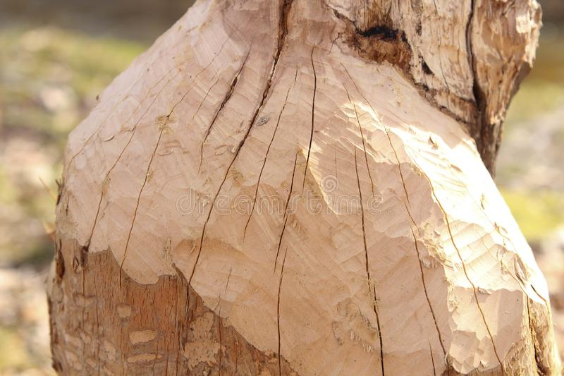 Dano da árvore do castor Reduzirão regularmente árvores Os castores comem na maior parte a casca e as folhas de árvore fotografia de stock