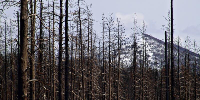 Dano do incêndio florestal em yellowstone imagem de stock