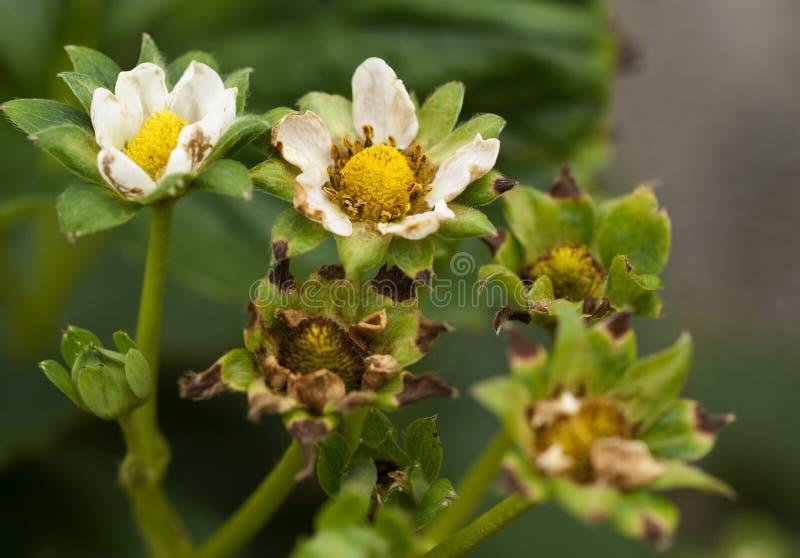Dano dos thrip às flores da morango fotografia de stock