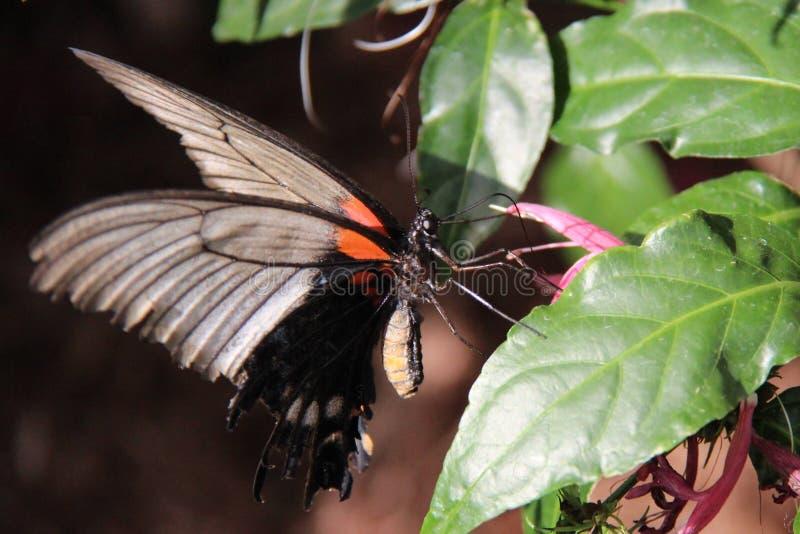 Dans av fjärilen - swallowtail royaltyfria bilder