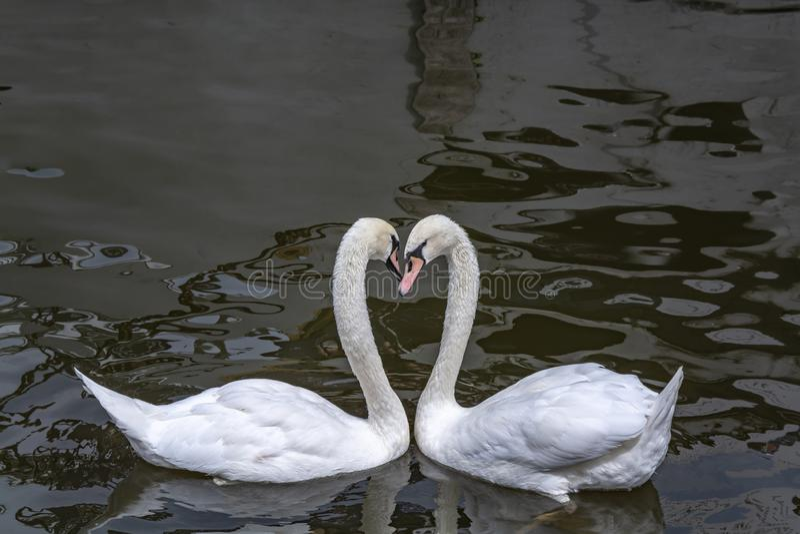 Dans av vita svanar, dans av förälskelse royaltyfri foto