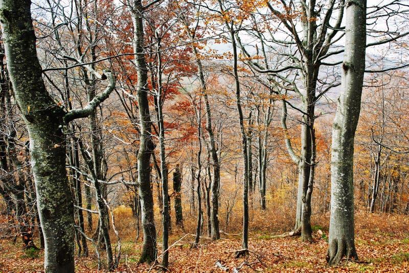 Dans la forêt d'automne avec des arbres de beerch Beau bois rouge photo libre de droits