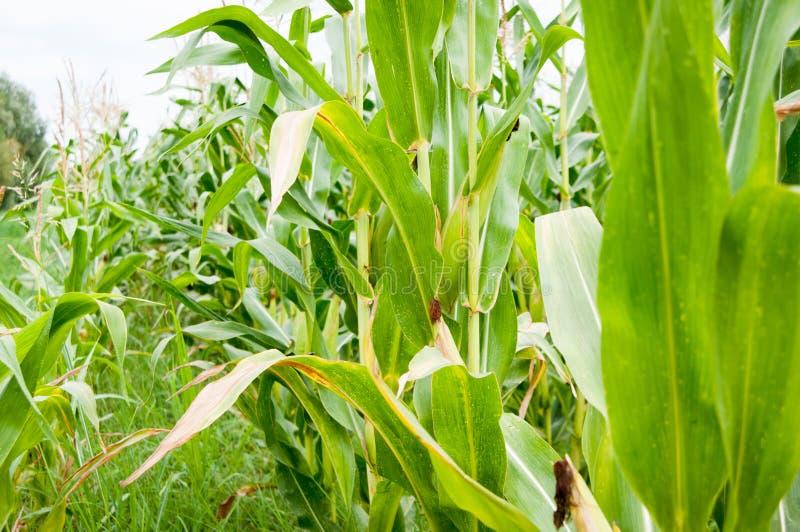 Dans le domaine de maïs image stock