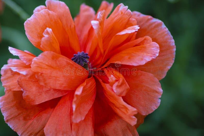 Dans le domaine de pavots Pavots rouges sur un champ un jour ensoleillé d'été ?t? et ressort, paysage, clou de girofle Pavot à op images libres de droits