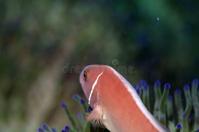 Dans le dos d'un poisson d'anémone rose photos libres de droits