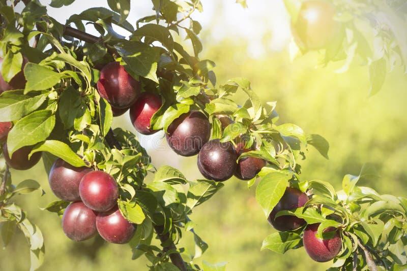 Dans le jardin sur les prunes mûres d'une branche d'arbre Jour ensoleill? photographie stock libre de droits