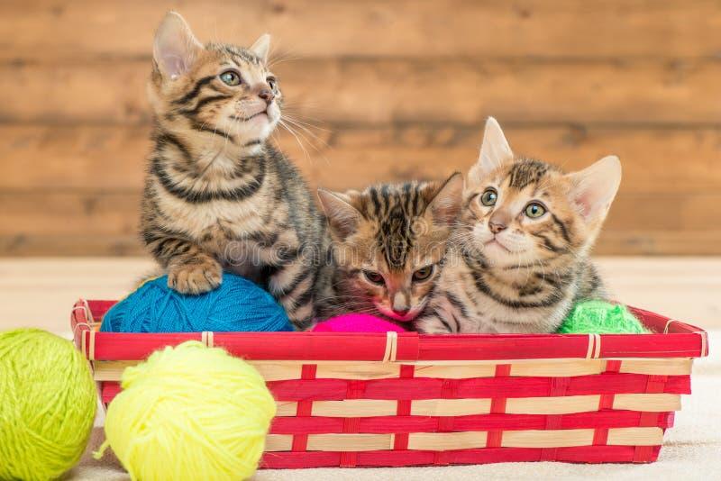 Dans le panier en osier reposez trois chatons du jeu de race du Bengale images stock