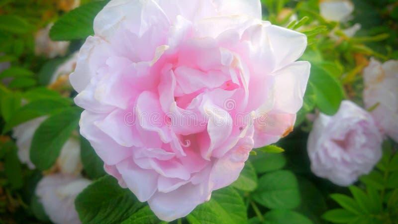 Dans le rose image stock