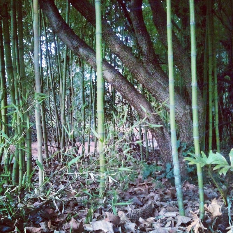 Dans les bambous photo stock