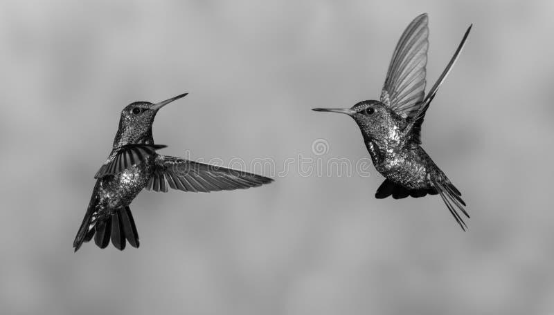 Dans van de Kolibries stock fotografie
