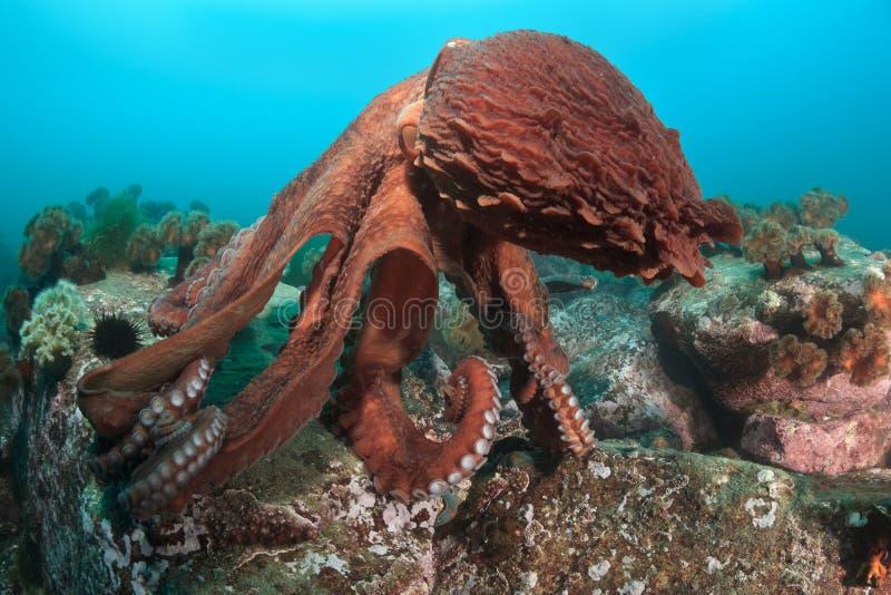 Dans van Reuzeoctopus stock foto