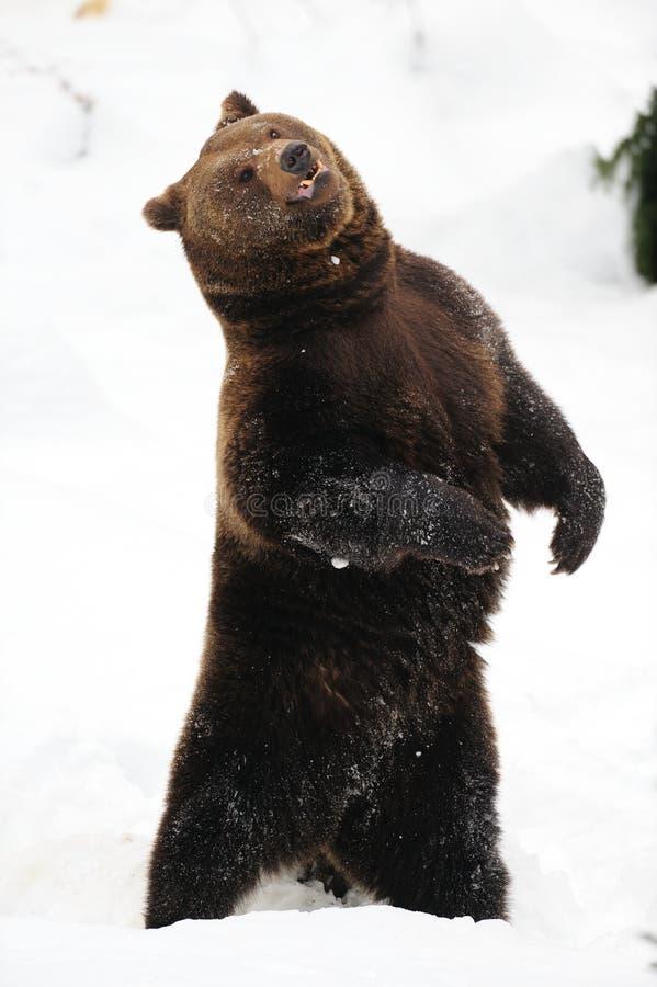 Dansa för brunbjörn som är galet i snön royaltyfria foton
