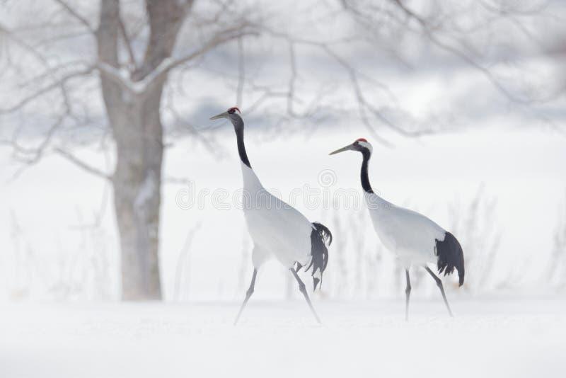 Dansa par av denkrönade kranen, snöstorm, Hokkaido, Japan Fågel i flugan, vinterplats med snö Snödans i natur Wildlif royaltyfria bilder