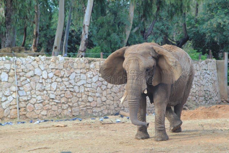 Dansare av elefanten royaltyfria bilder