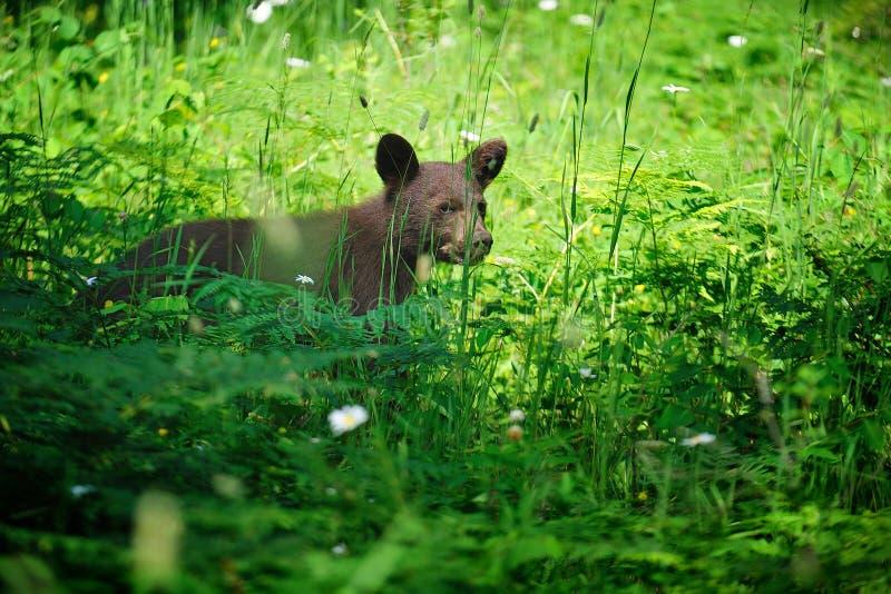 Danse d'ours noir ! photo stock