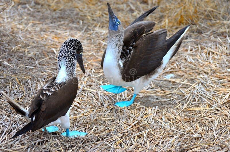 Danse de accouplement de l'idiot aux pieds bleu sur Isla de la Plata, Equateur photographie stock libre de droits