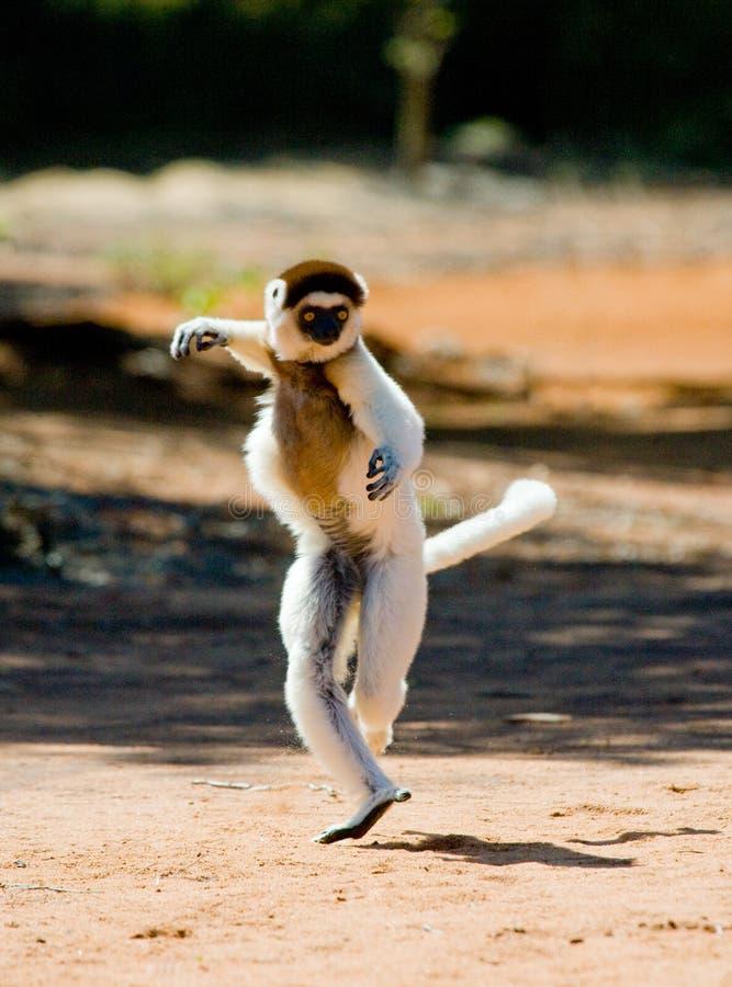 Dansen Sifaka är på jordningen rolig bild madagascar arkivbilder