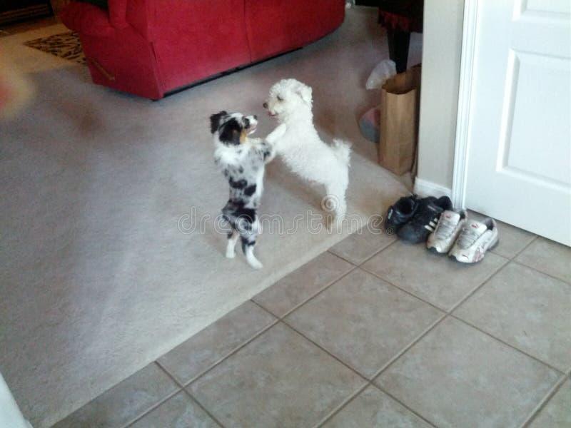 Dansende honden royalty-vrije stock afbeeldingen