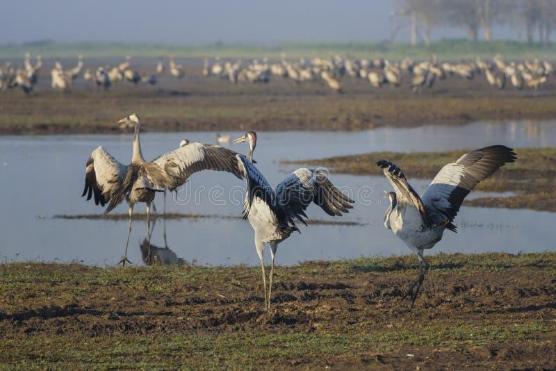 Dansende kranen Kraanvogel in Vogels Natuurlijke Habitat Vogelwaarneming in Hula-Vallei, in Natuurreservaat Het landschap van de  royalty-vrije stock fotografie