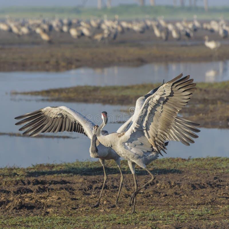 Dansende kranen Kraanvogel in Vogels Natuurlijke Habitat Vogelwaarneming in Hula-Vallei in Natuurreservaat stock foto's