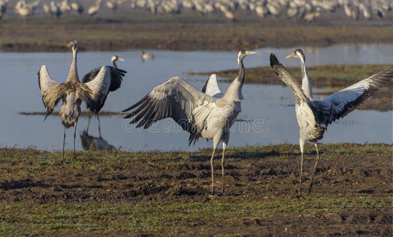Dansende kranen Kraanvogel in Vogels Natuurlijke Habitat Vogelwaarneming in Hula-Vallei stock afbeelding