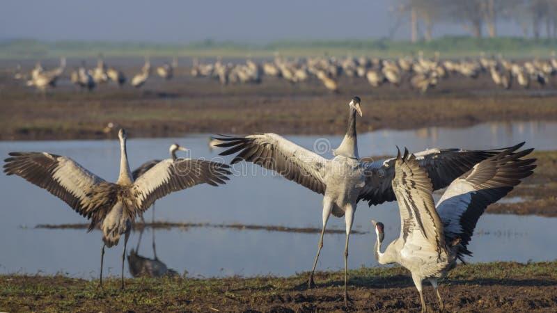 Dansende kranen Kraanvogel in Vogels Natuurlijke Habitat Vogelwaarneming in Hula-Vallei in noordelijk Isra?l Vogels die reizen va royalty-vrije stock fotografie